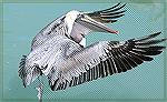 This Pelican had just caught a fish near Islamorada,Florida when I got this shot. 