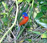 This male Painted Bunting was at the Feeders at Corkscrew Swamp near Naples Florida.  Copyright 2006 by Steve Slayton.