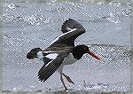 I found this Oystercatcher using Bill Pranty's 2006 Birding in Florida Book.  It was at Honeymoon Island close to Tampa Florida. Copyright 2006 by Steve Slayton.