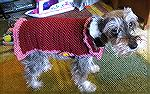 This is the coat I crochet for Pepper. It's 100% polyester Red Heart yarn. It's done from a free Red Heart pattern. This pattern works up quickly.